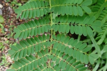 Leaves-of-Poinciana