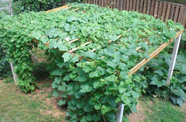 7 Top Health Benefits Of Pointed Gourd Parwal Hb Times