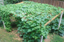 Pointed-gourd-plant