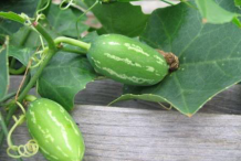 Pointed-gourd-in-the-plant