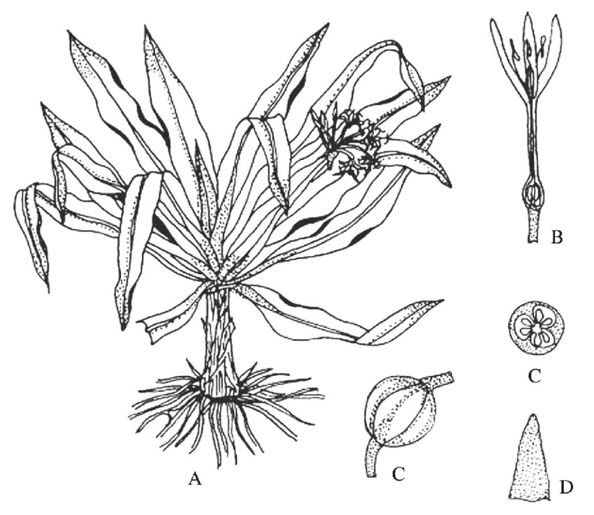 Plant-Illustration-of-Poison-lily