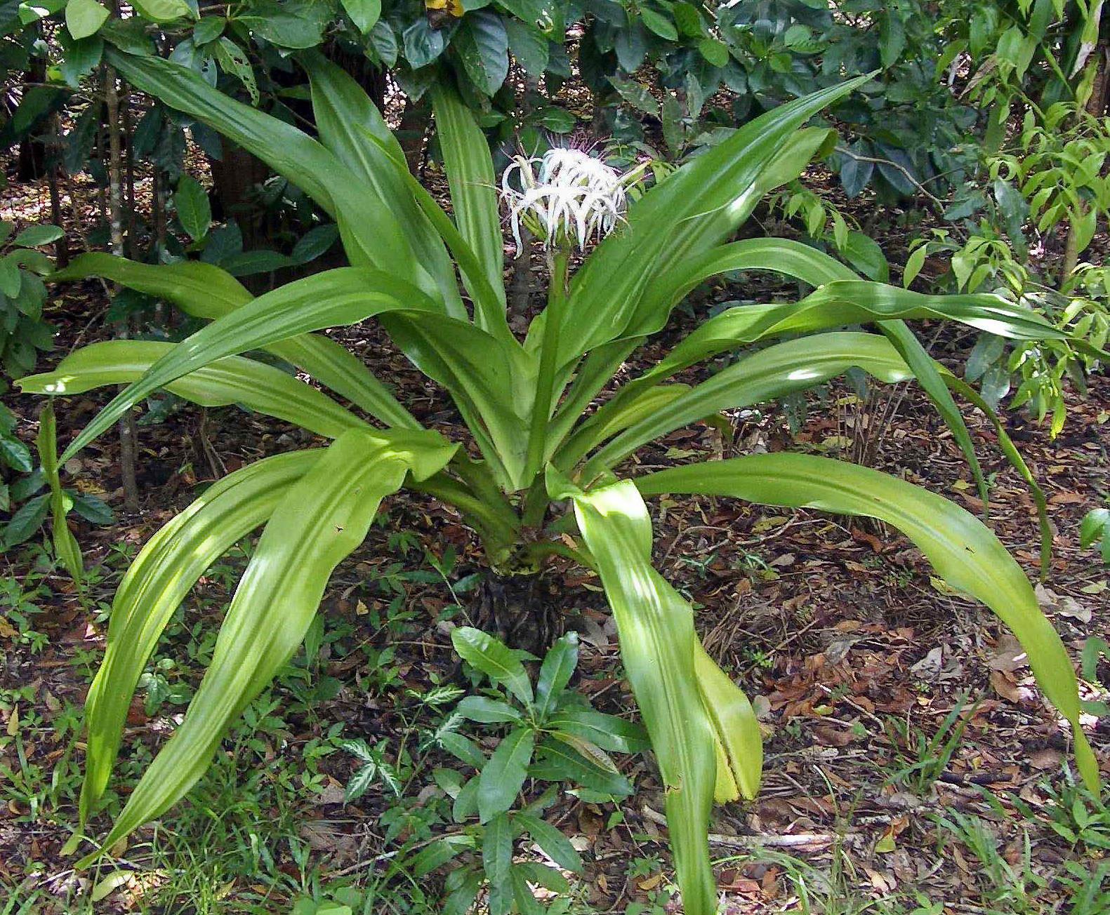 Poison-lily-plant