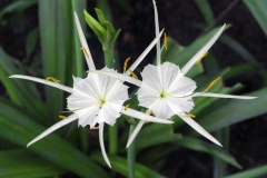 Flowers-of-Poison-lily