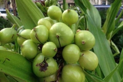 Immature-fruit-of-Poison-lily