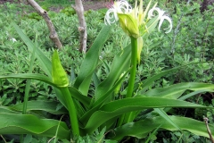 Poison-lily-plant-growing-wild