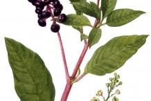 Illustration-of-Pokeberry