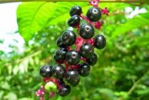 Pokeberry-fruit