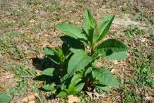 Pokeberry-plant