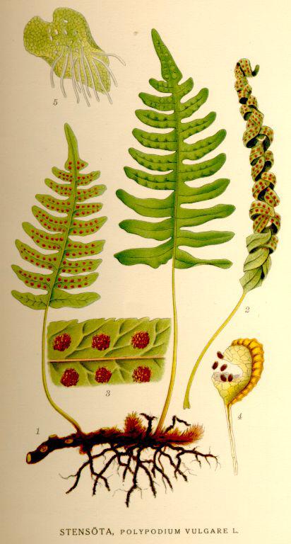 Polybody-plant-illustration