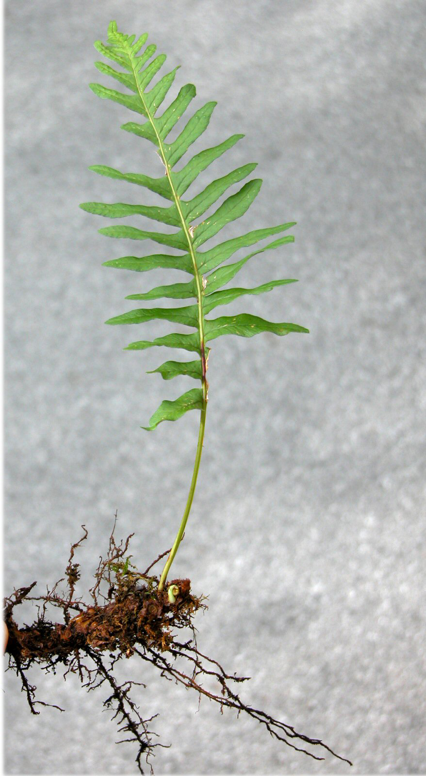 Polybody-whole-plant