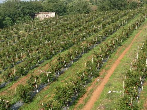 Pomegranate-farm