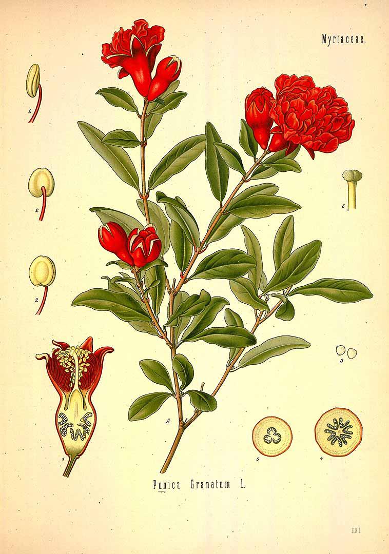 Pomegranate-plant-illustration