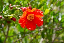 Pomegranate-flower