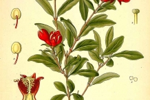 Pomegranate-plant-illustration