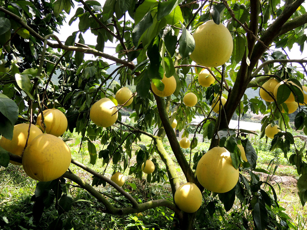 Pomelo Facts And Health Benefits