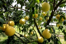 Pomelo-fruit-in-the-tree