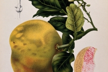 Illustration-of-Pomelo-fruit