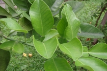 Leaves-of-Pomelo