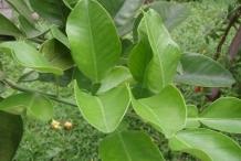 Leaves-of-Pomelo