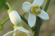 Pomelo-flower