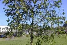 Pomelo-tree