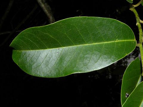 Dorsal-view-of-Pond-Apple-Leaf