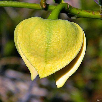 Flowering-bud-of-Pond-Apple