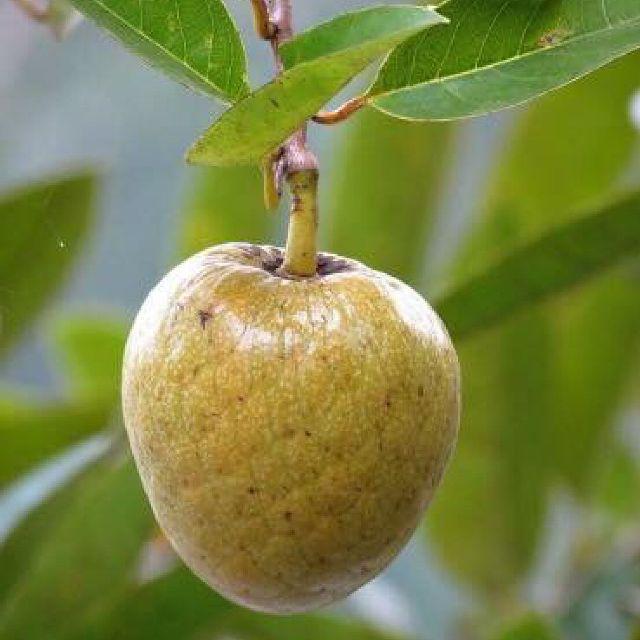 Mature-Pond-Apple