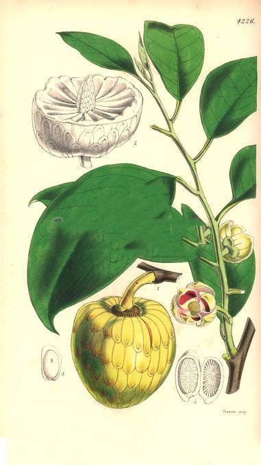 Plant-Illustration-of-Pond-Apple