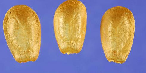 Pond-Apple-Seeds