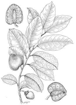 Pond-Apple-Sketch