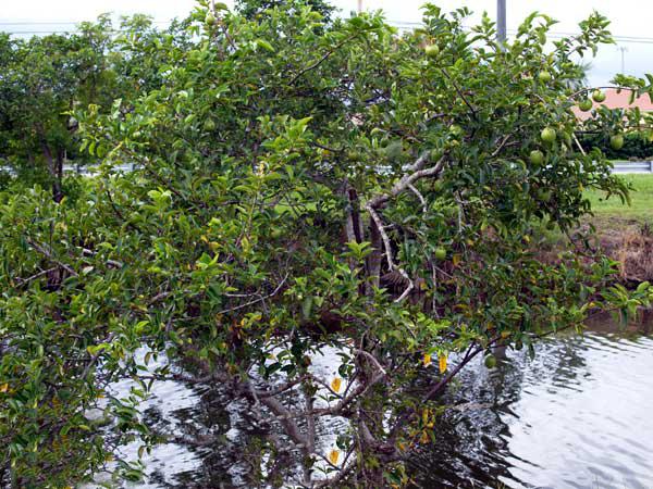 Pond-Apple-plant-growing-wild