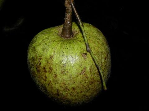 Pond-Apple