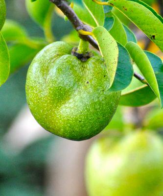Unripe-Pond-apple-on-the-tree
