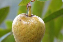 Mature-Pond-Apple