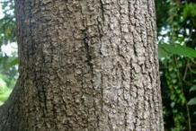 Bark-of-Pond-Apple-plant