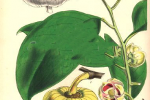Plant-Illustration-of-Pond-Apple