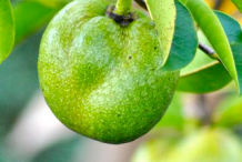 Unripe-Pond-apple-on-the-tree