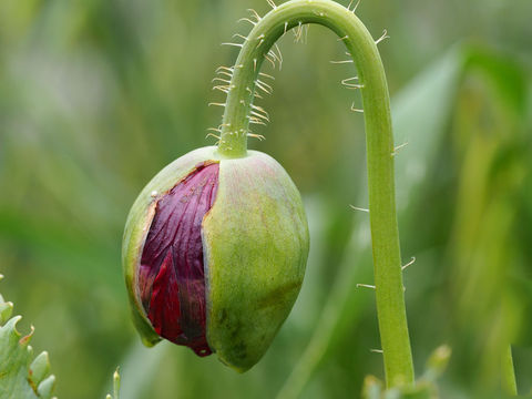 Buds-of-Opium-Poppy
