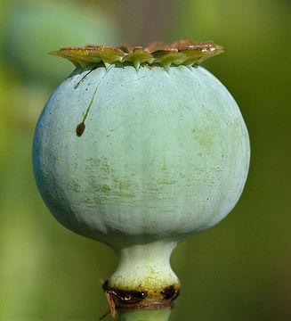 Closer-view-of-unripe-fruit