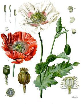 Plant-Illustrations--of-Opium-Poppy