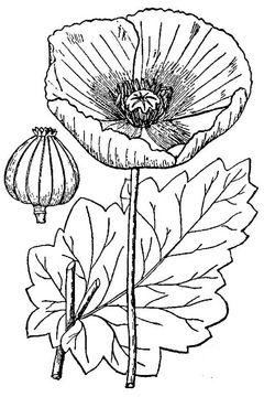 Sketch-of-Opium-Poppy