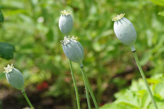Unripe-Opium-Poppy-fruit