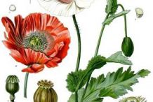 Plant-Illustrations--of-Opium-Poppy