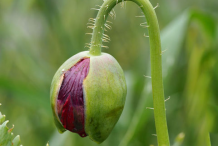 Buds-of-Opium-Poppy