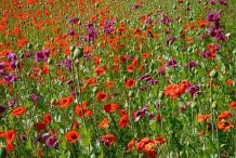 Opium-Poppy-Farming