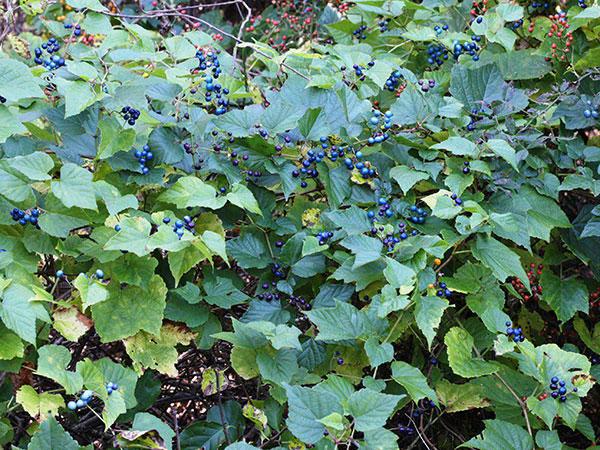 Porcelain-berry-plant-growing-wild
