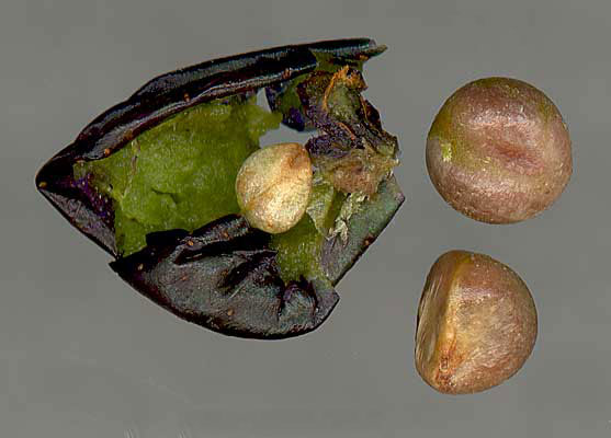 Seeds-of-Porcelain-berry