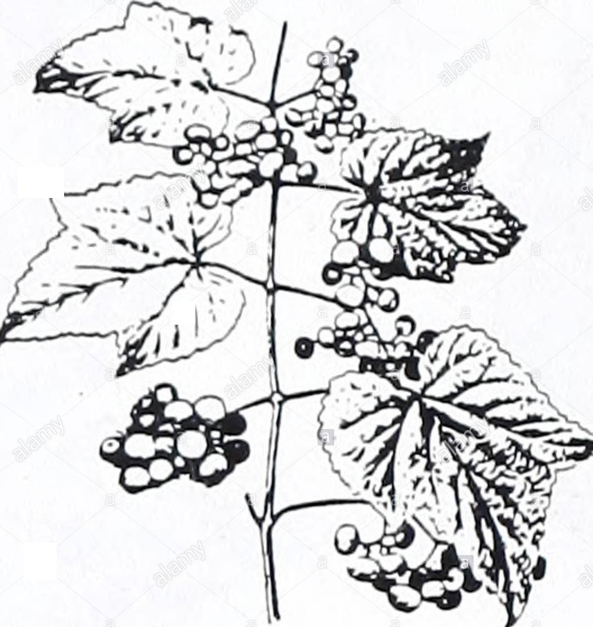 Sketch-of-Porcelain-berry