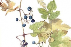 Plant-Illustration-of-Porcelain-berry